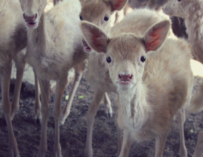Ungulates-Safari-Park-Deer-2