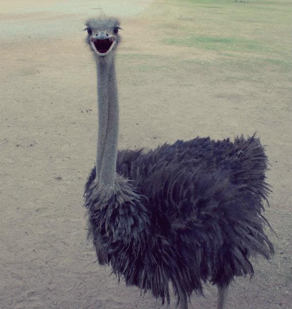 Ungulates-safari-Park-ostrich-1