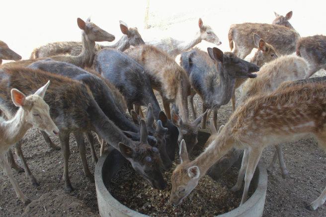 ungulates-safari-park-deer