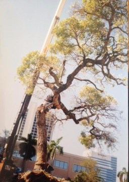 Annie Beck's 60 year old Tabebuia Tree being relocated.