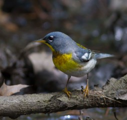 p. 292 figure 275 northern parula male CPMay0311_0246