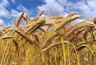TRIGO. Argentina con problemas de precios y abastecimiento del cereal.