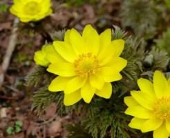 1月の誕生花!福寿草を大切な人に贈る時の6のポイント