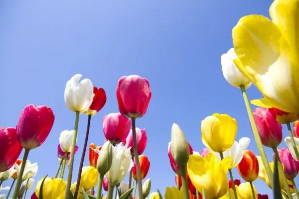 チューリップの花言葉を理解した気持ち伝わる贈り方6選