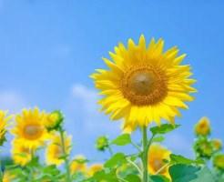 向日葵の花言葉を使ってお洒落でスマートに贈る6のコツ