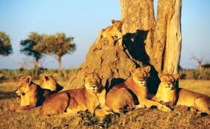 Botswana has over 1000 lions