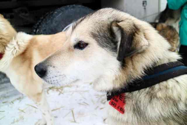 Alaskan Husky on Dog Sledding Tour in Lake Louise, Banff National Park