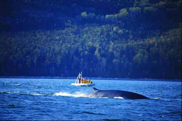 Fin whale in Quebec Maritime