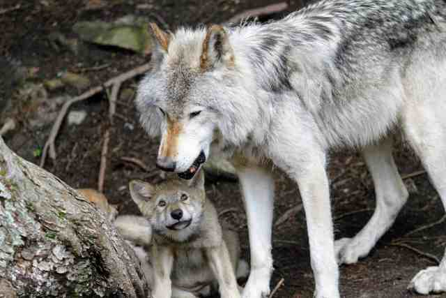 Wolf mother and pup