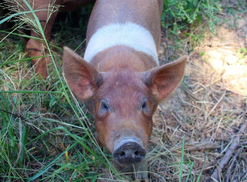 A photo of a pig