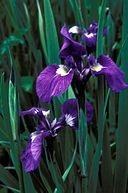 Iris - For Inspiration