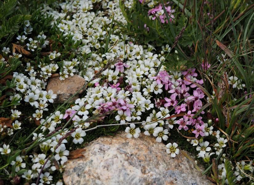 tundraflowers