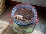 Veggie nets are great habitat jar toppers