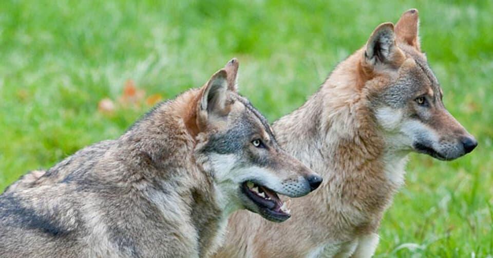 Tag des Wolfes – Träume in Realismus verwandeln!