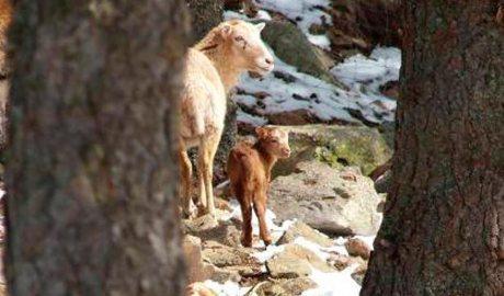 Una femella i una cria de mufló