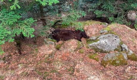 Cos mort de l'ós Cachou