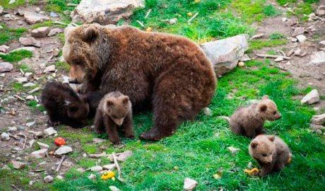 Una óssa i les seves cries a Naturlàndia. Foto: Comú de Sant Julià de Lòria