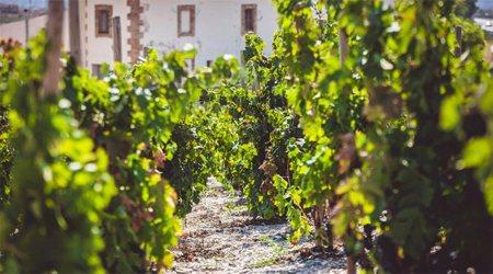 Una vinya