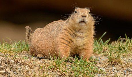 Una marmota. Foto de Petr Ganaj de Pexels