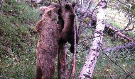 Un cadell d'os bru s'enfila a un arbre ajudat per la seva mare.