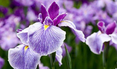 Iris xiphium o Flor de Lis