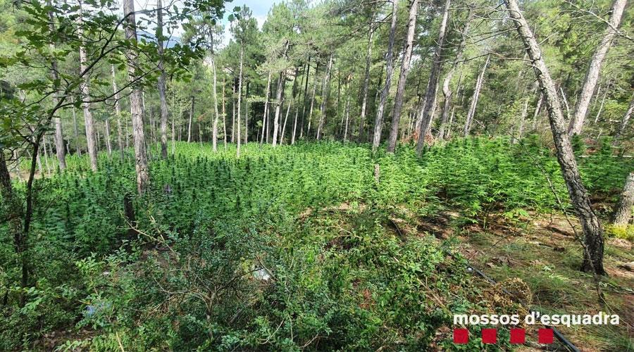 PLantes de marihuana en un bosc de Coll de Nargó