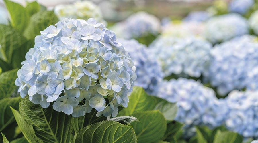 flors blaves