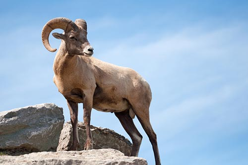 Bighorn Sheep Facts, Information, and Photos - American ...