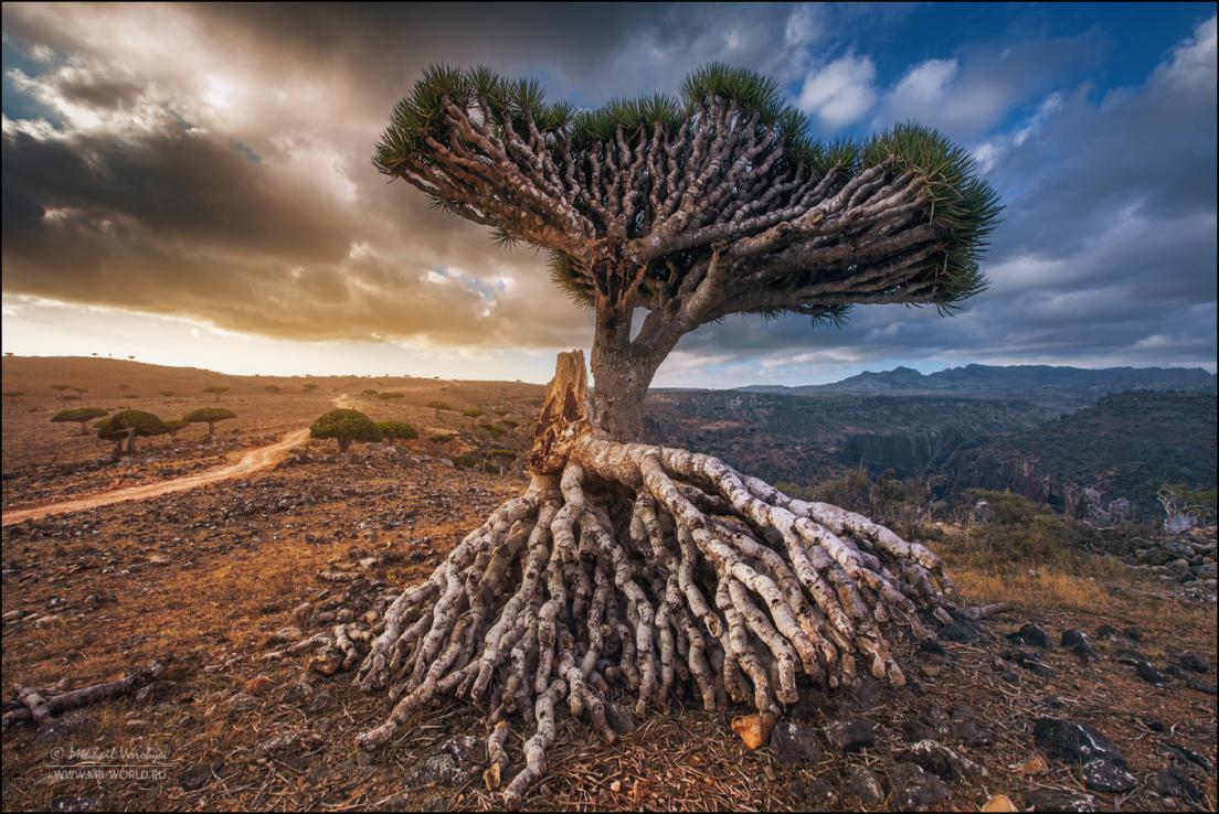 Драконовые деревья острова Сокотра 14