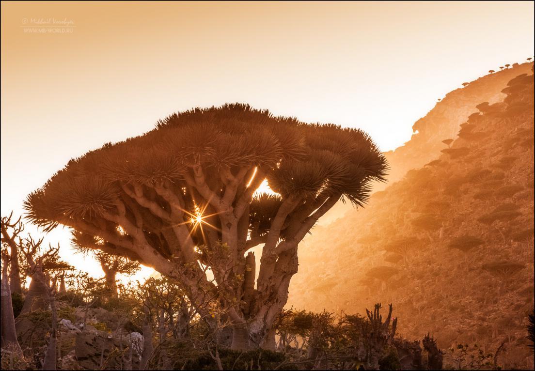 Драконовые деревья острова Сокотра 17