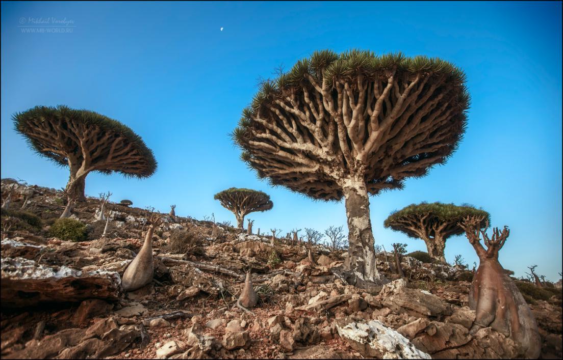 Драконовые деревья острова Сокотра 18