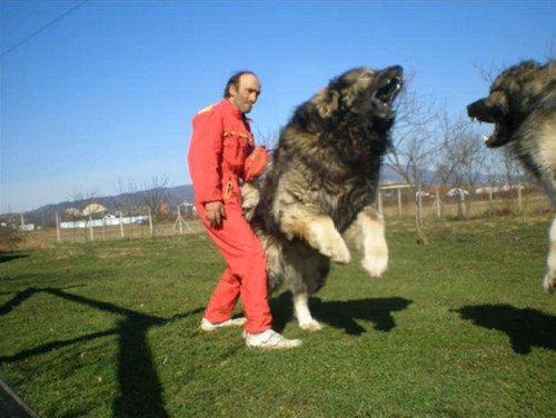 Caucasian Dog Shepherd Wolf Vs