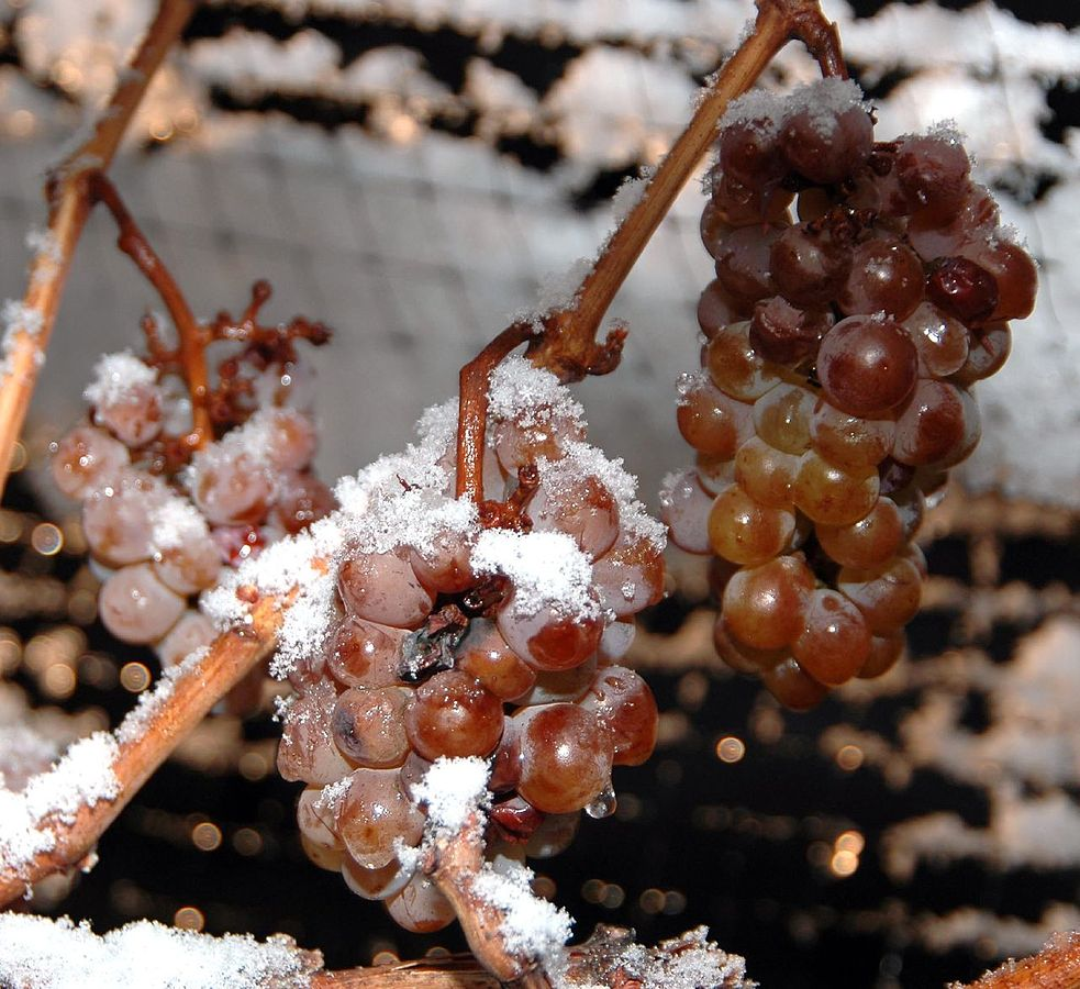 ice wine grapes frozen on the vine by Rivar