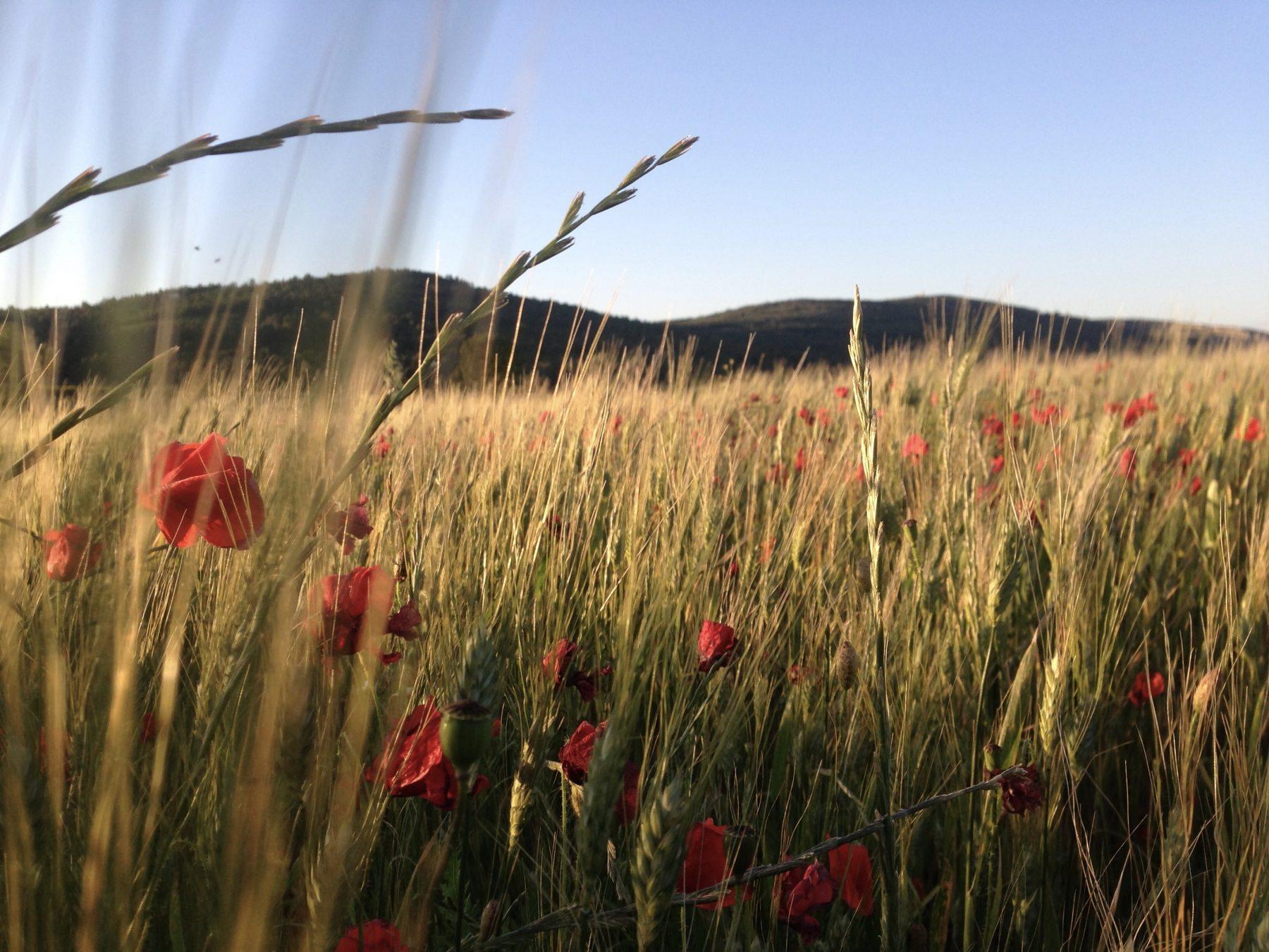 Red poppy flowers fields of Southwest France