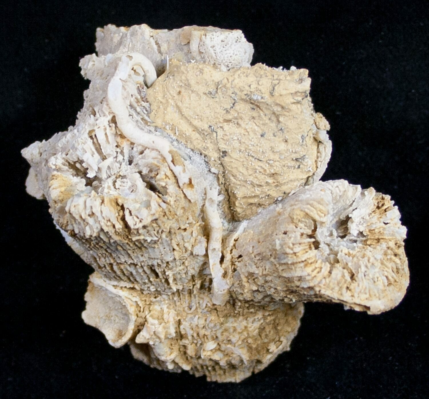 Fossils Coral Fossils