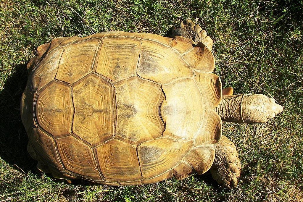 African Spurred Tortoise Fossil Rim Wildlife Center