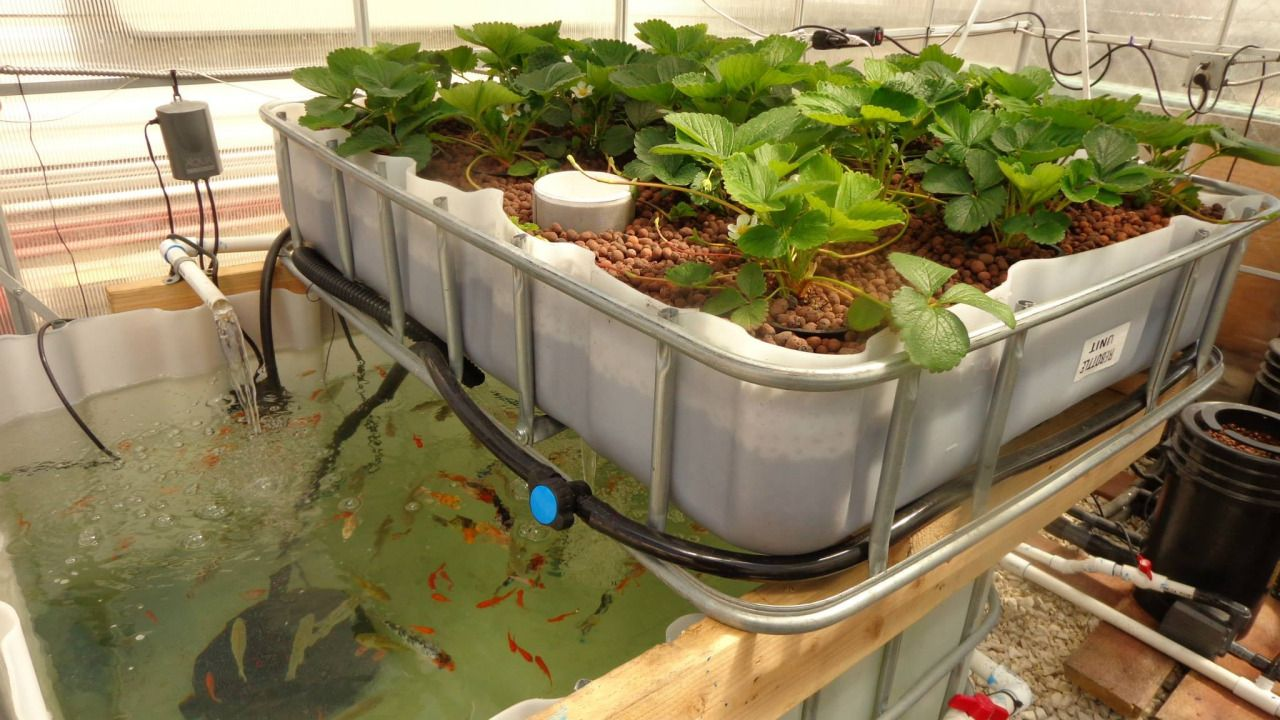 Aquaponics: The Clean, Green Way