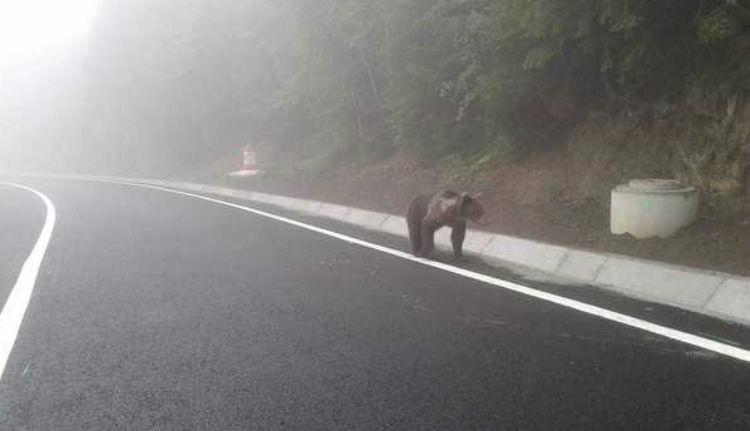 Erdőben és főúton is bármikor találkozhatunk már medvékkel