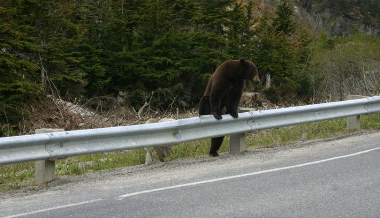 Véget érhet a medvék aranyélete a Székelyföldön