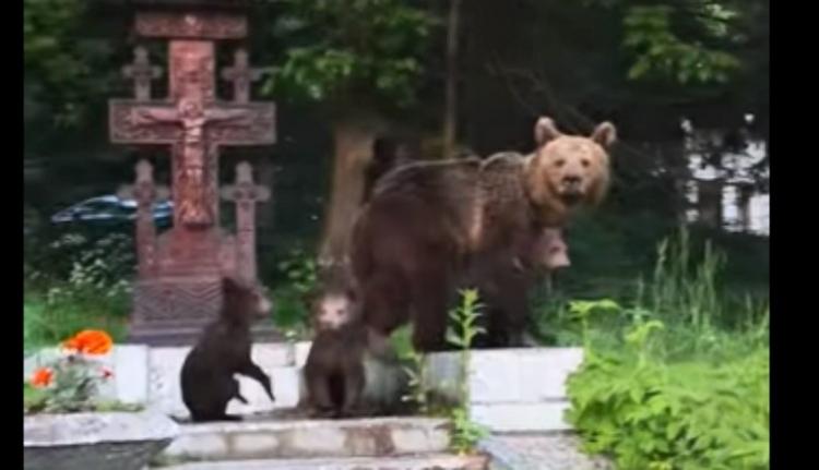 Medve vagyok, nem turista! – gondolta ez a bocsait fényes nappal sétáltató nagyvad Tusnádfürdőn (VIDEÓval)