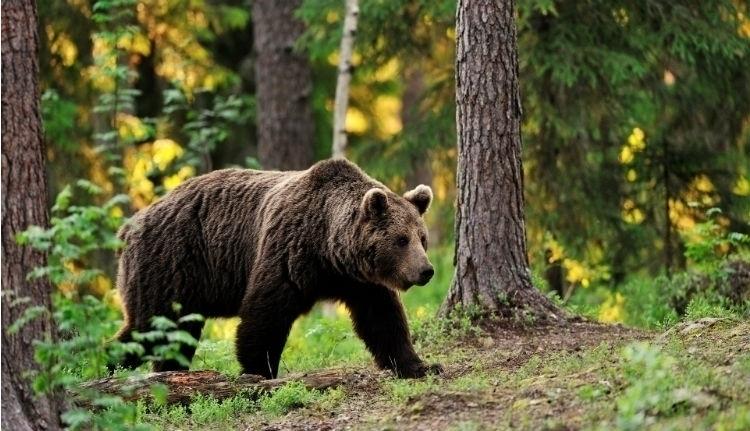 Folytatódik a medvemizéria: eltűnt a csendőrre támadó, lelőtt vadállat