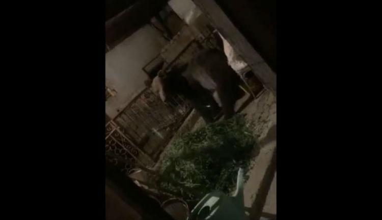 Már Gyulafehérváron is medvék garázdálkodnak (VIDEÓval)