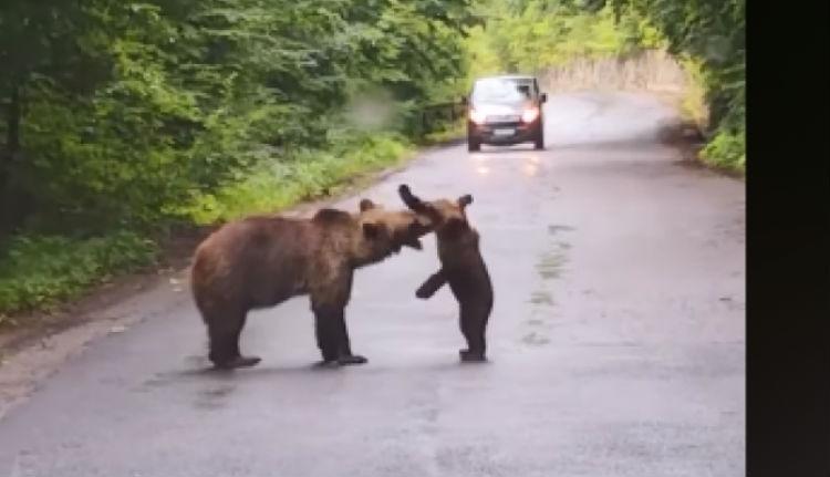 Az út közepén játszadozott bocsával az anyamedve, és magasról tett az autókra (VIDEÓval)
