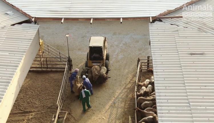 Állatvédők kérnek kivizsgálást Románia ellen 66 ezer juh szenvedéseiért (VIDEÓval)