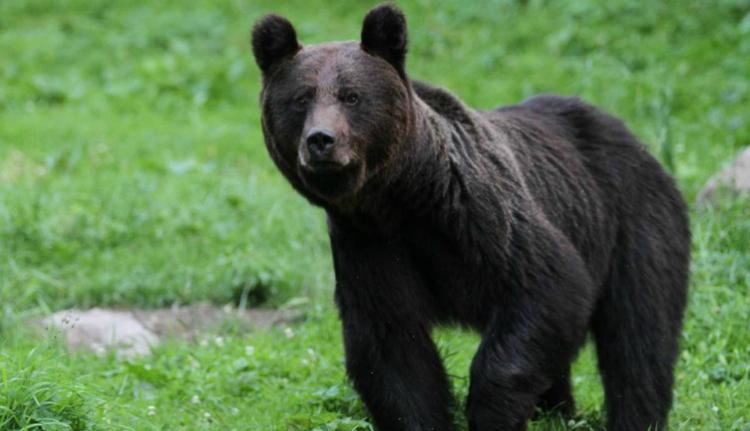 Két gyermeket és egy idős férfit sebesített meg a városba beszabadult medve (FRISSÍTVE)