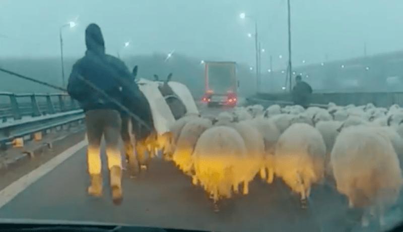 Szabadalmaztatásra váró román extrém sport: ködben, juhok között lavírozás az autópályán (VIDEÓval)