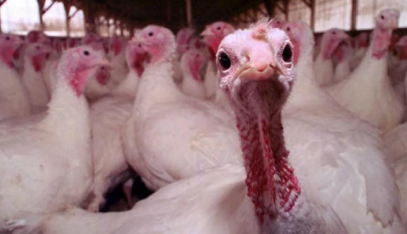 A fél országot elárasztották Magyarországról származó, fertőzésgyanús pulykahússal