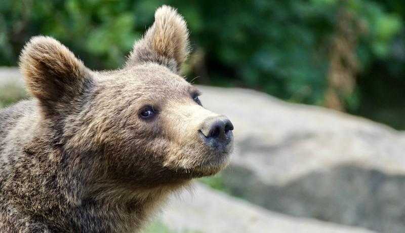 Ha az állam még sokat totojázik, a gazdák önhatalmúan fogják kilőni a kárt okozó medvéket