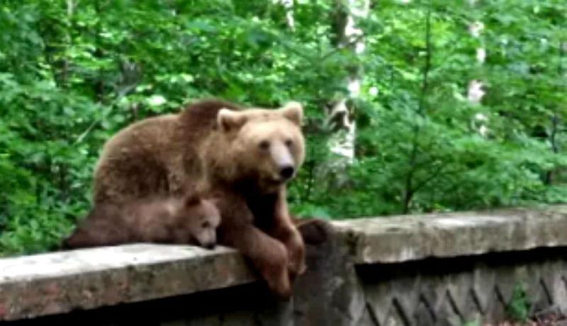 Valóságos medvefesztivál zajlott a hétvégén Tusnádfürdőn