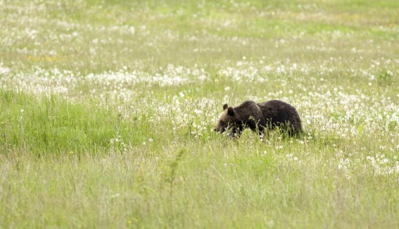 Egy medvetámadás és egy medvegázolás is jutott erre a hétvégére